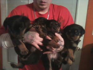 AKCRottweilerPuppies